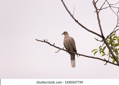 Lonely dovecane on a branch against a gray cloudy sky