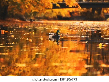 lonely duck swims in a pond in an autumn park