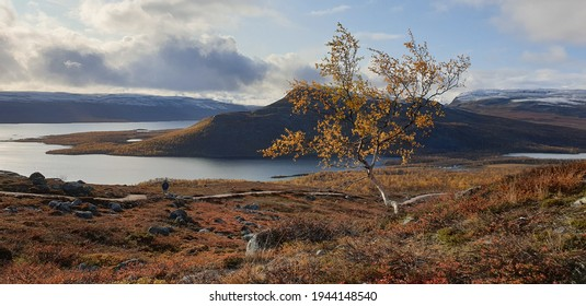 Lonely dwarf birch tree, in front of the Malla fell, in colorful foliage nature, sunny, autumn day, in Kilpisjarvi, North Finland