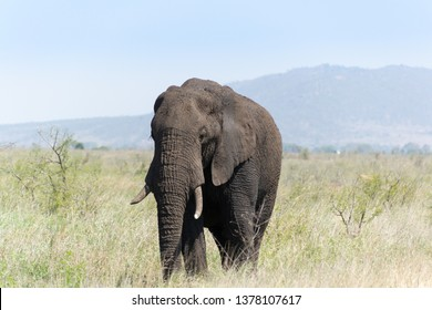 Lonely elephant roams savannah in Kruger National Park in South Africa (Einsamer Elefant streift durch die Savanne im Krüger Nationalpark in Südafrika)