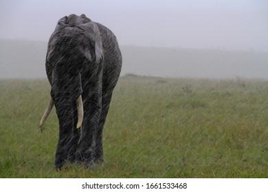 A lonely elephant walks in the rain in Kenya, Africa.