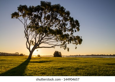 Lonely eucalyptus tree silhouette in a park