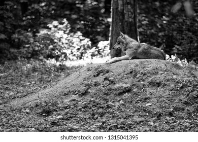 lonely european wolf in the forest lying on the ground - black and white