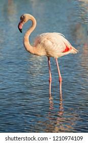 lonely flamingo at dusk