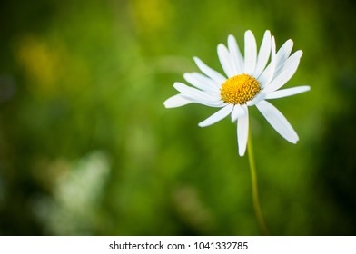 Lonely flower of chamomile