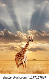 Lonely giraffe in the African savannah at sunset. Wild nature of Africa. Artistic African image. Free space for text.