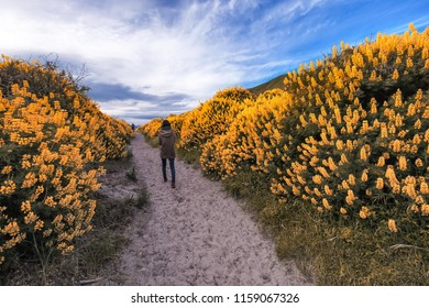 A lonely girl walking along a long narrow path surrounded by tall bushes with yellow bush lupin. The path takes her on a journey towards the sky. This photo was taken in New Zealand.
