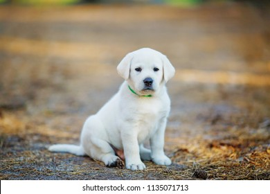 lonely golden retriever puppy sitting on a path in the forest and waiting for the owner