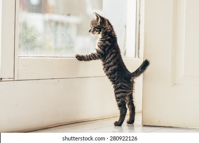 Lonely Gray Tabby Kitten Leaning Against the Glass Window at the House While Looking Outside with Tail Up.