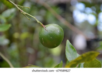 Lonely Green Orange - Shutterstock ID 679589827