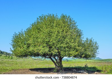 Lonely green tree with lush foliage on the flowering meadow in mountain valley - bright summer landscape with blue clear sky