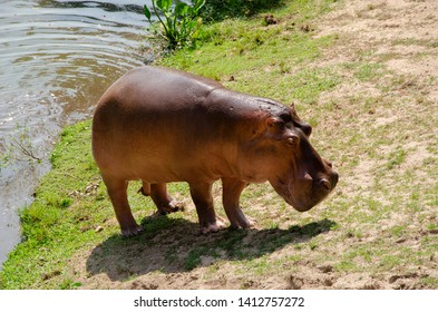 Lonely Hippopotamus is walking after swiming in the water
