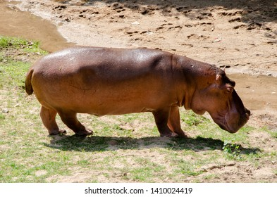 Lonely Hippopotamus is walking in the forest