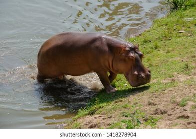 Lonely Hippopotamus is walking in the water