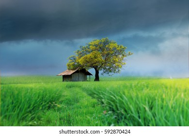 Lonely House  on the ricefield