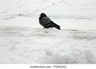 A lonely huddled dove freezes among the fresh snow