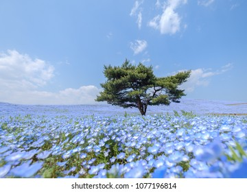 A lonely huge tree on the hill with the sea of blue flowers (Nemophila or Baby Blue Eye) blossoming at Hitachi Seaside Park in spring under blue sky at Ibaraki, Japan