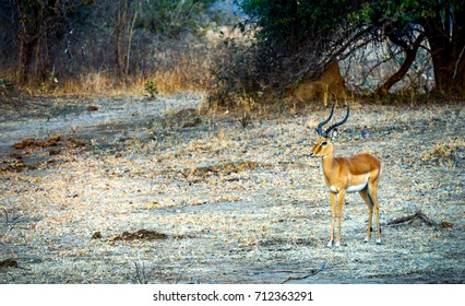 Lonely Impala in open field in Zambia Africa