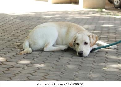 Lonely Labrador Retriever relaxing under tree shade.