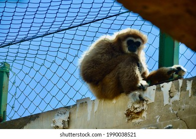 Lonely lar gibbon caged in the zoo (Hylobates lar)