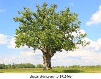 lonely linden tree