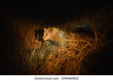 A lonely lion during an evening game drive, Kruger National Park, South Africa