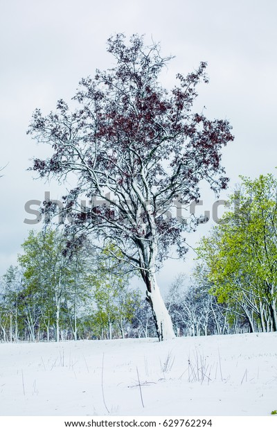 Lonely Little Tree Burgundy Leaves Winter Stock Photo Edit Now