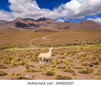 Lonely Llama stands in front of the ridge. Autumn desert landscape in the Bolivian Altiplano. Andes, South America