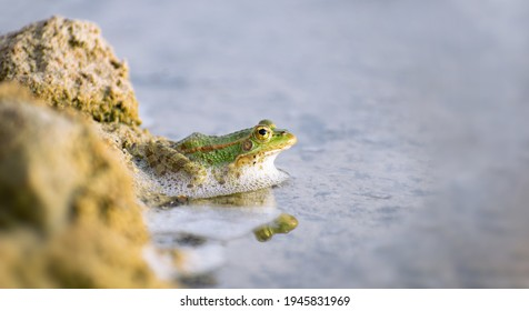 A lonely male common frog floating on the surface of the water about to jump. Close-up view looking at camera