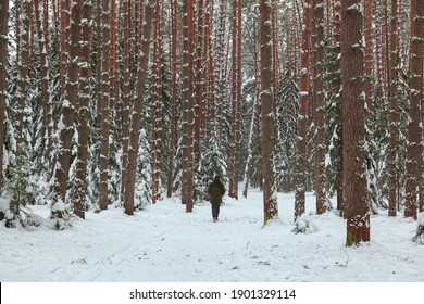 A lonely man walks through a magical winter pine forest in Konakovo. Tall trees under the snow. A walk in the fresh air. Frosty, clean air. Good for your health. A figure in the forest.