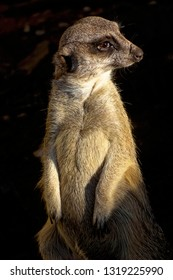 Lonely meerkat standing in late evening sunshine.