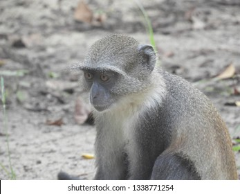 Lonely monkey looking at the ground in Watamu