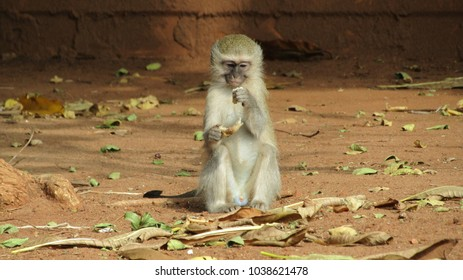 Lonely Monkey right before the Kruger National Park Entrance enjoying some roots