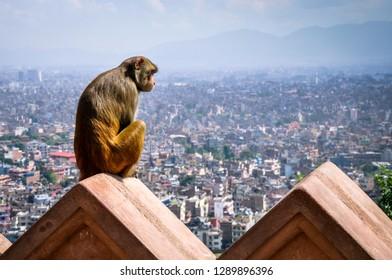 Lonely monkey sitting on a wall and watching Kathmandu panoramic view from Swayambhu stupa, Nepal