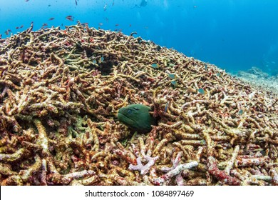 A lonely Moray Eel sticks out from a pile of bleached, dead coral on a damaged tropical coral reef