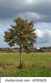 Lonely mountain ash tree on meadow and medieval Russian town Suzdal on horizon