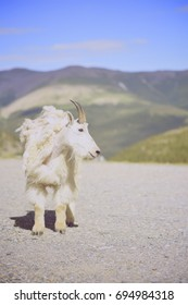 Lonely Mountain Goat in Colorado