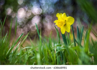 Lonely narcissus