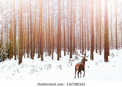 Lonely noble deer male in pine winter forest. Christmas winter image.