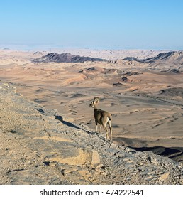 A lonely nubian ibex (Capra nubiana) and Moon in Mizpe Ramon - Israel.