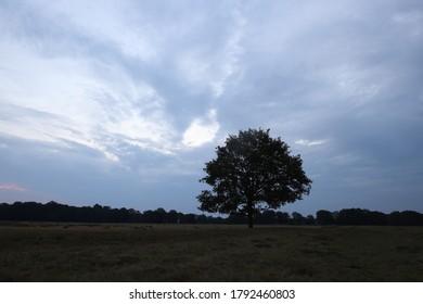 Lonely oak on the heather in Dwingelderveld, The Netherlands