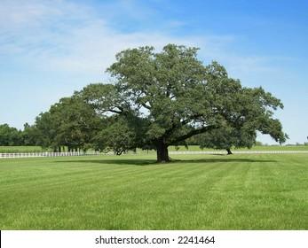Lonely oak tree in Oak Alley Plantation, Louisiana