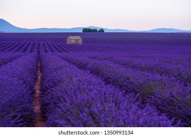 lonely old abandoned stone house at lavender field in summer purple aromatic flowers near valensole in provence france