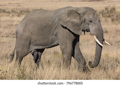 Lonely old male elephant with big penis marching trough savanna grass, profile portrait, October 2017, Serengeti National Park, Tanzania, Africa