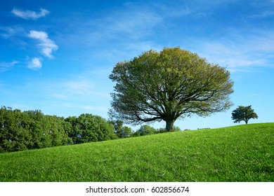 Lonely old tree in meadow at summertime