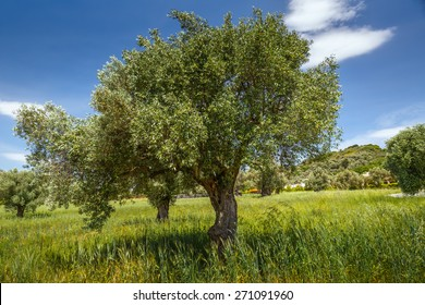 Lonely olive tree in Greece, Crete