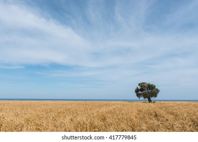 Lonely olive tree on a  wheat field near the sea with blue cloudy  sky. Image taken at Larnaca area, Cyprus