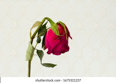 A lonely one scarlet purple red beautiful languid and wilted rose lies on a white modern background. The concept and process of dying. Wilted pink rose. Copy space for text. Horizontal.