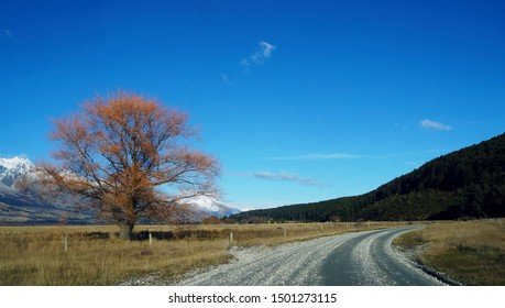 A lonely orange-red tree in the autumn wilderness yellow meadow pasture, driving on a gravel dirt road. The background is a white snow mountain and a green forest.