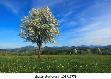Lonely pear tree in full bloom on late afternoon, Mostviertel, Lower Austria